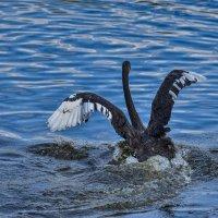 Черный лебедь :: Ольга