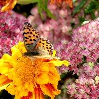 и опять про бабочек...6 :: Александр Прокудин