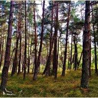 Сосновый лес. :: Валерия Комова
