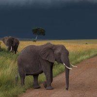 Слон на фоне грозового неба в саванне :: Ольга Петруша