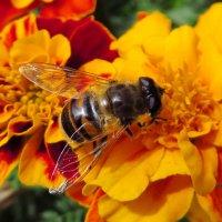 Журчалка.Пчеловидка цепка, ильница обыкновенная (Eristalis tenax) :: ivan
