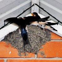Гнездо ласточек под крышей крыльца магазина Талисман. :: Восковых Анна Васильевна
