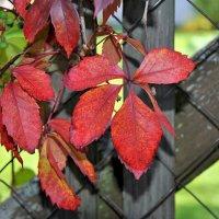 Люблю, когда краснеют листья осенью... словно от стыда :: Любовь Р