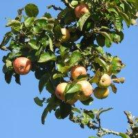 Яблочки зреют :: Natalia Harries