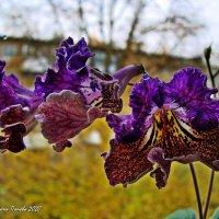 Стрептокарпус. Комнатный цветок. :: ANNA POPOVA