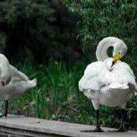 Лебедь :: Rada