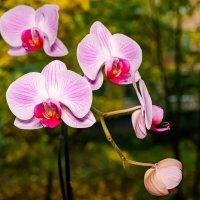 Орхидея :: Роман Алексеев