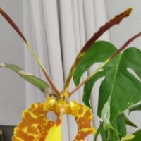 Вот такая орхидейка :: Galina194701
