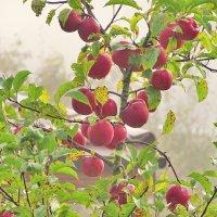 Поздние яблоки. :: Елена Kазак (selena1965)