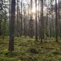 Просто лес. :: Владимир Филимонов