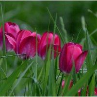 Тюльпаны. :: Sergey (Apg)