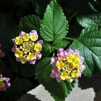 Цветы Абхазии. :: Vladimir Lisunov