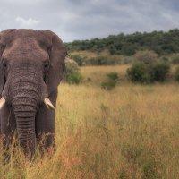 Слон в саванне :: Ольга Петруша