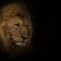 Портрет льва :: Ольга Петруша