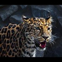 Леопард :: SanSan