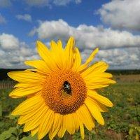Пчела на подсолнухе :: Любовь Чащухина