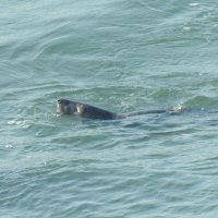 Тюлень в море :: Natalia Harries