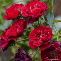 Розы :: Дмитрий Svensson