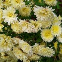 Хризантема – прощальный цветок осени :: Елена Павлова (Смолова)