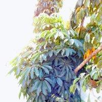 Папая (молодое дерево). :: Валерьян Запорожченко