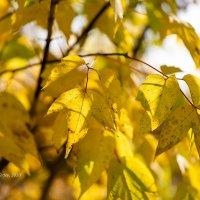 Золотая листва осени :: Александр Синдерёв