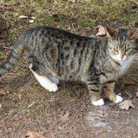 Царскосельские кошки :: Наталья Герасимова