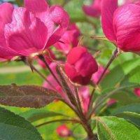 цветы  яблони :: IREN jonina