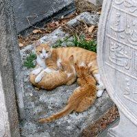 Стамбульские кошки :: Валерий Пегушев