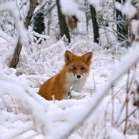 Лиса и снегопад. :: Татьяна Башкирова