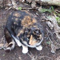 Трёхцветная кошка :: Лидия Бусурина