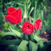 Тюльпаны :: Мария Гуськова