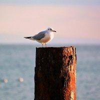 Чайка и море :: Ольга (crim41evp)