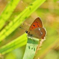 Бабочка золотой червонец :: Сергей Пиголкин