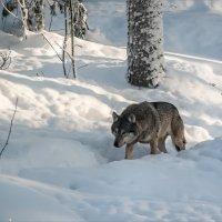 Волчьими тропами (2) :: Shapiro Svetlana