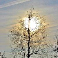 Короткий день пытается продлить берёза,задерживая ветками уставший солнца свет. :: Восковых Анна Васильевна