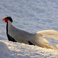 Серебряный фазан зимой :: Татьяна Каневская
