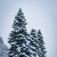 Снежные ели :: Анна Лищук