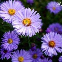Цветы :: Faina Popova