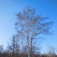 Берёза зимой :: Оливер Куин