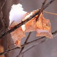 Осенние листочки под снегом :: Canon 77 ---