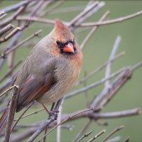 Самка северного кардинала :: Tatiana