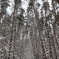 Прогулка в зимнем лесу :: Алёна Алексаткина