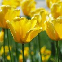"""Tюльпан """"Golden Apeldoоrn"""" :: Alm Lana"""