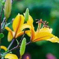 Жёлтые лилии под дождём :: Александр Синдерёв