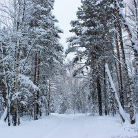 Тихо стоят деревья великаны, заколдованные зимой и ничто не шелохнется в этом снежном мире :: Григорий охотник