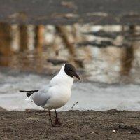 Весенняя чайка :: Aнна Зарубина