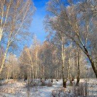 В березовом лесу :: владимир тимошенко