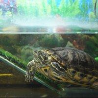 Красноухая черепаха. :: Наташа *****