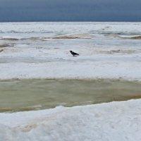 На берегу пустынных льдов... :: veera (veerra)