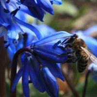 пчела и сцилла :: Олег Петрушин
